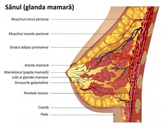 anatomia sanului