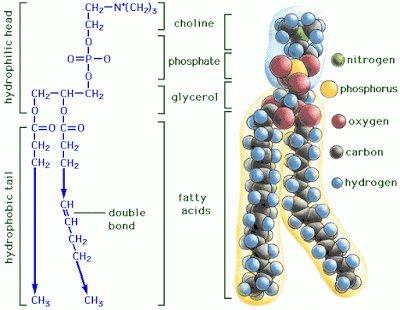 fosfatidilcolina